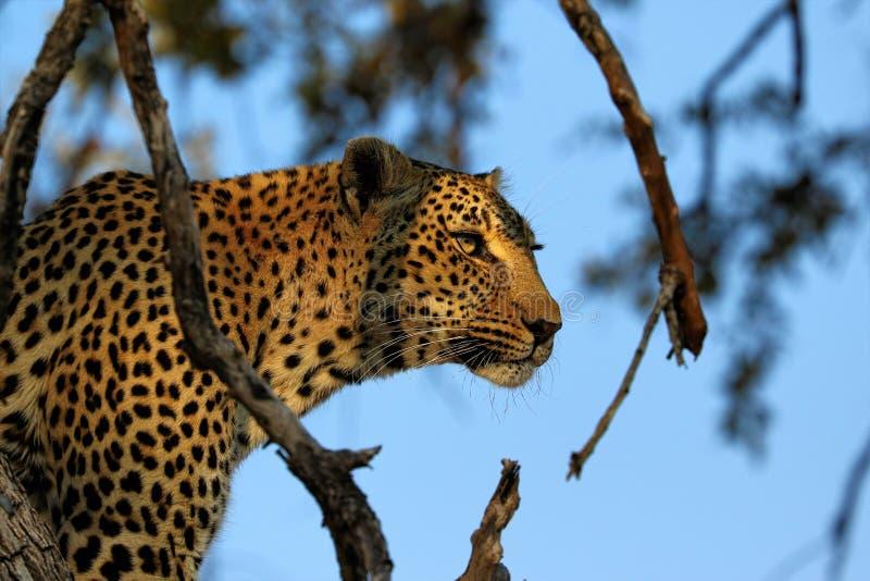 Portret van een pardus van luipaardpanthera, het Nationale Park van Kruger, Zuid-Afrika stock foto's