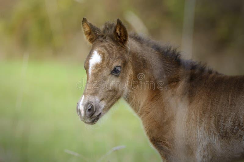 Portret van een pasgeboren bruin veulen met een witte vlek op zijn voorhoofd en snuit royalty-vrije stock fotografie