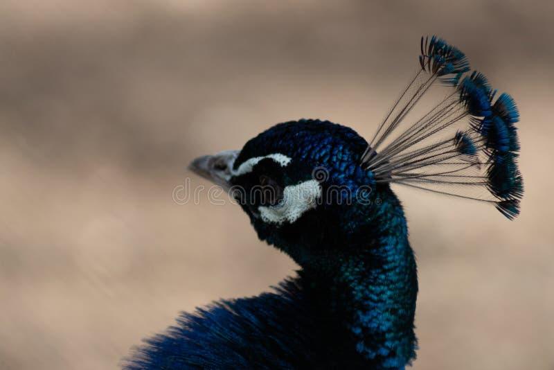 Portret van een pauwhoofd met een bosje stock fotografie