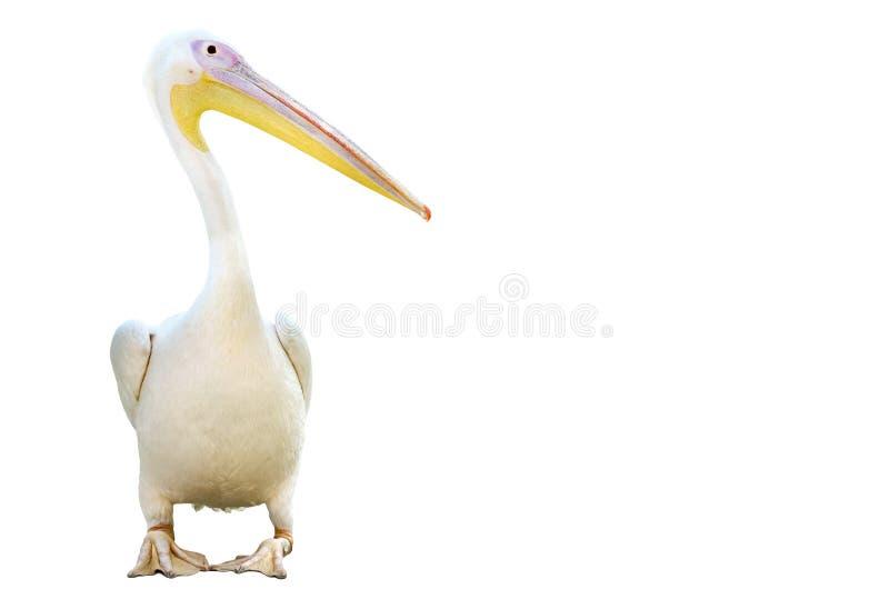 Portret van een pelikaan stock afbeelding
