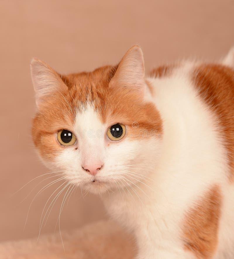 Bruine en witte kat royalty-vrije stock foto's