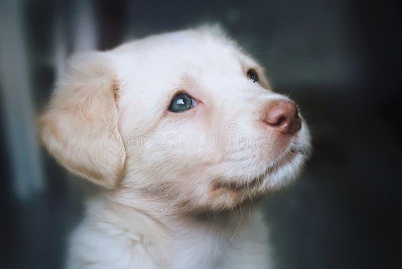 Portret van een puppy Labrador royalty-vrije stock afbeelding