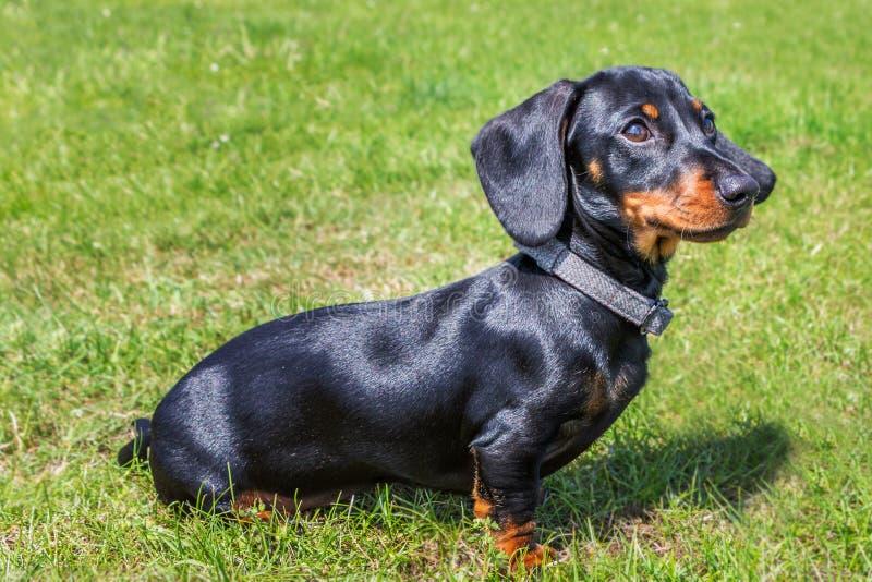 Portret van een puppy miniatuurtekkel, korte haired zwart en tan met een mooie glanzende glanzende laag buiten op gras stock foto