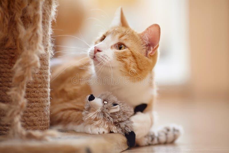 Portret van een rode binnenlandse kat met een stuk speelgoed stock afbeelding