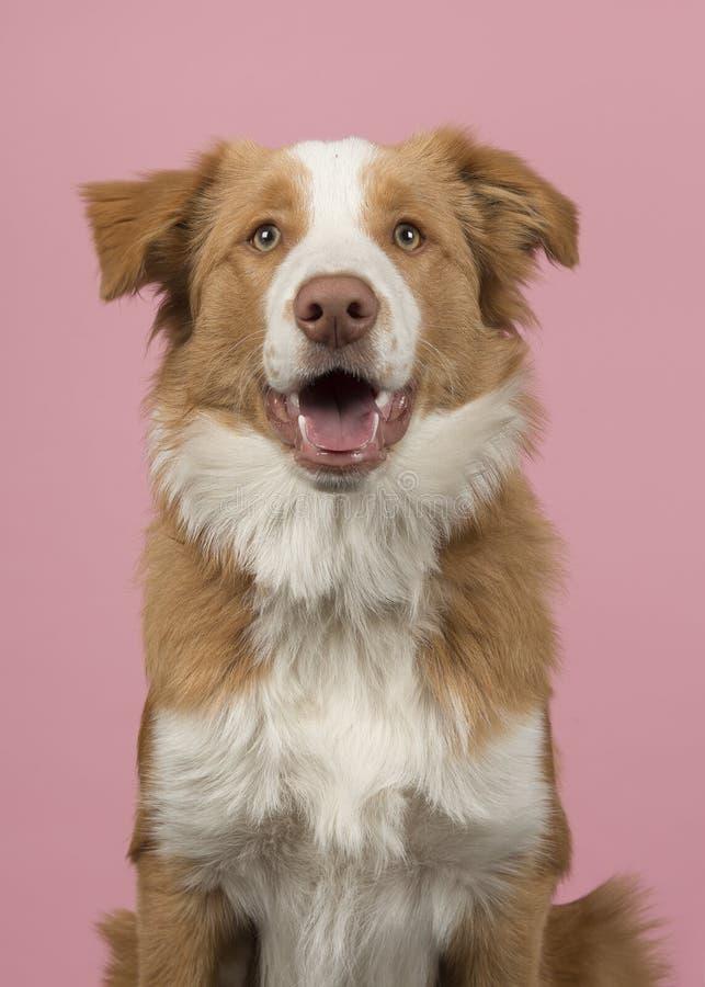 Portret van een rode border collie-hond op een roze achtergrond met mo stock afbeelding