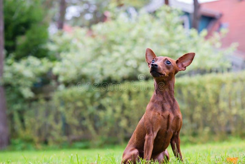Portret van een rode miniatuurpinscherhond stock foto