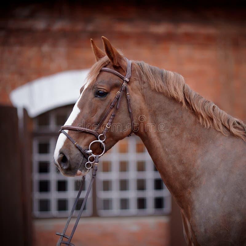 Portret van een rood paard. stock afbeelding