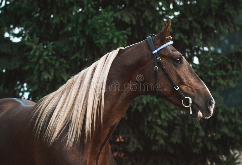 Portret van een rood sportpaard op groene sparrenachtergrond stock foto