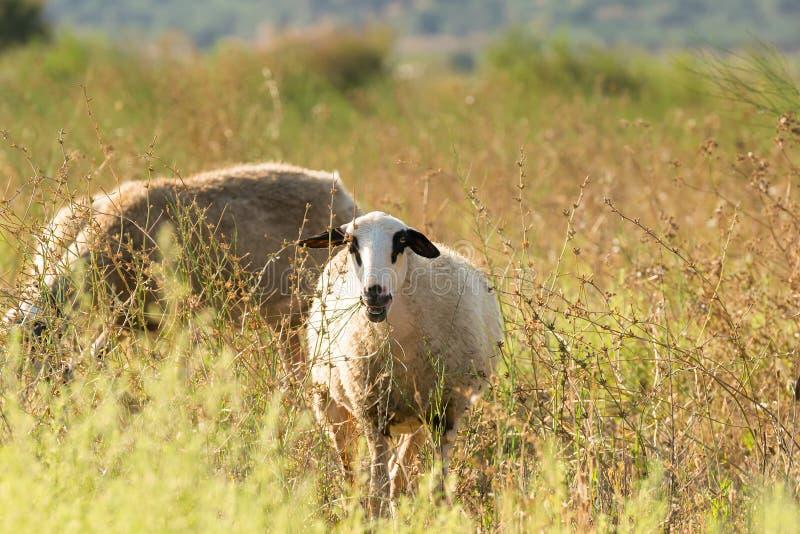 Portret van een schaap bij een weide stock foto's