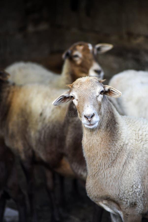 Portret van een schaap in de werf op een landbouwbedrijf stock foto's
