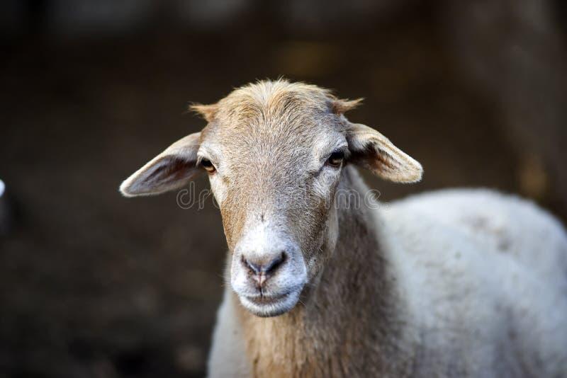 Portret van een schaap in de werf op een landbouwbedrijf stock afbeelding