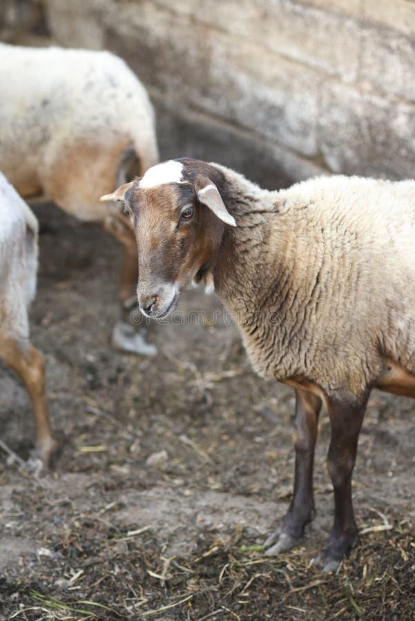 Portret van een schaap in de werf op een landbouwbedrijf royalty-vrije stock afbeelding