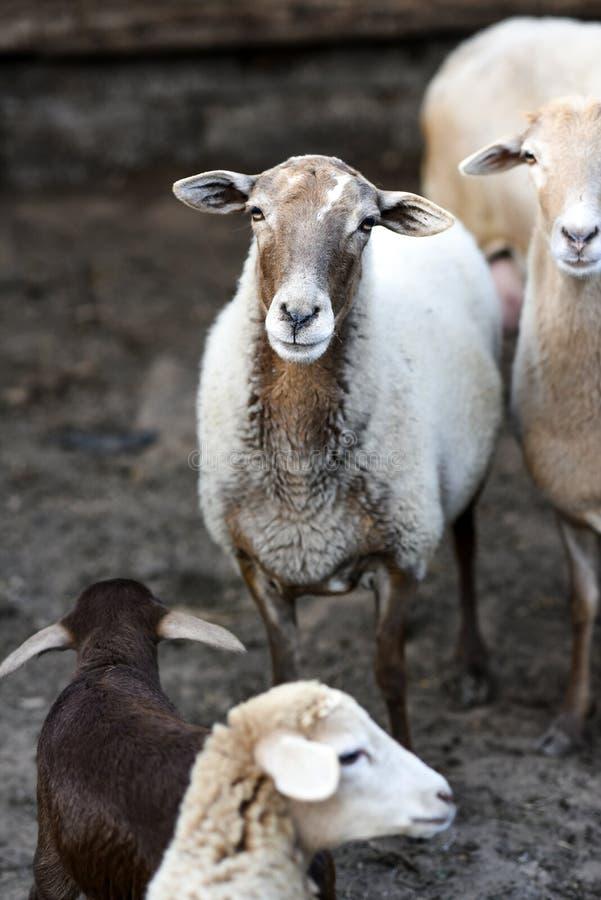 Portret van een schaap in de werf op een landbouwbedrijf royalty-vrije stock foto's