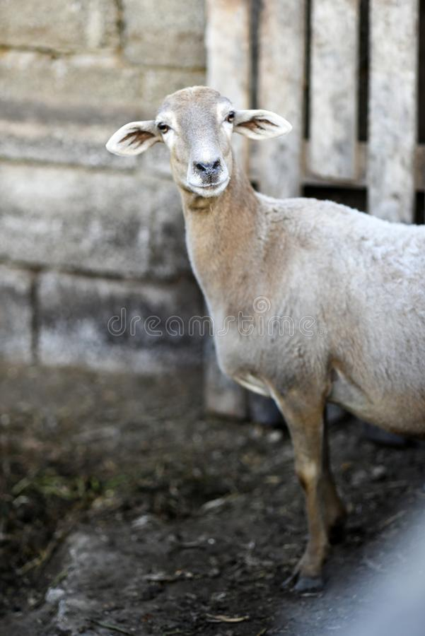 Portret van een schaap in de werf op een landbouwbedrijf royalty-vrije stock foto