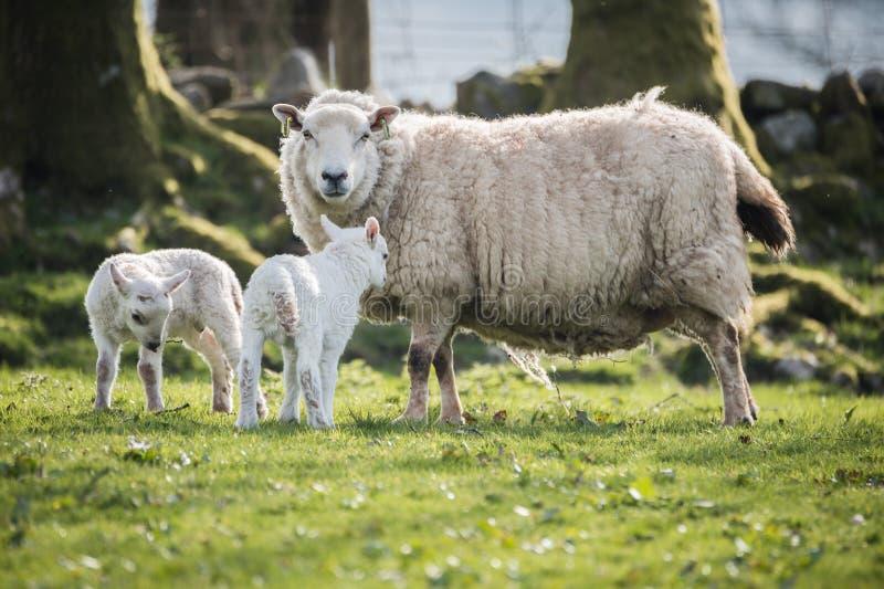 Portret van een schaap met lammeren in platteland, brecon bakens royalty-vrije stock foto