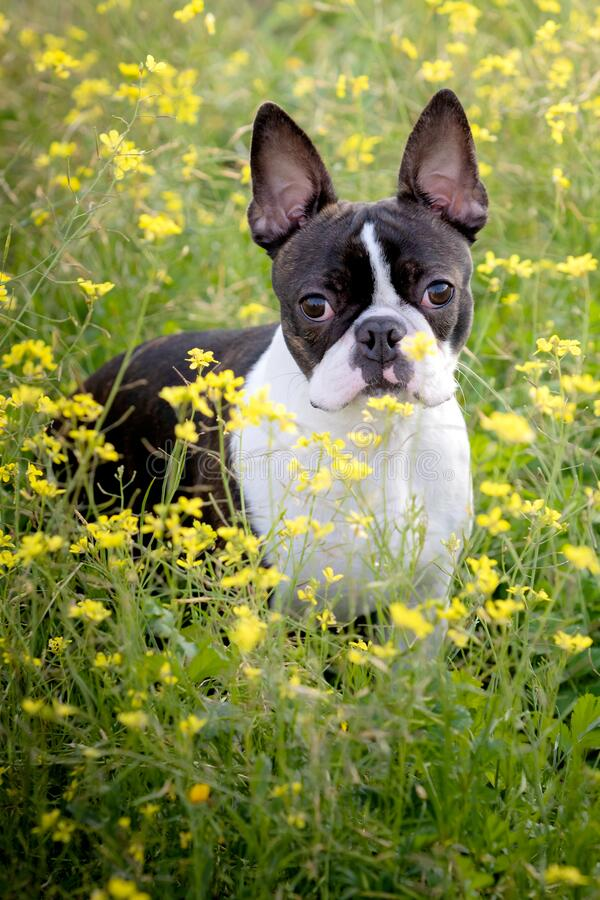 Portret van een schattige Boston Terrier stock afbeeldingen