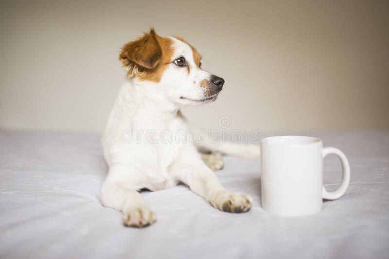Portret van een schattige, witte en bruine kleine hond die op bed zit. Kop van koffie bovendien. Thuis, huisdieren binnenshuis royalty-vrije stock foto's