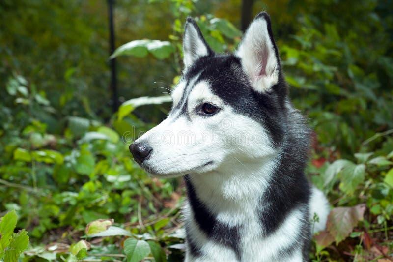 Portret van een Schor hond royalty-vrije stock afbeeldingen