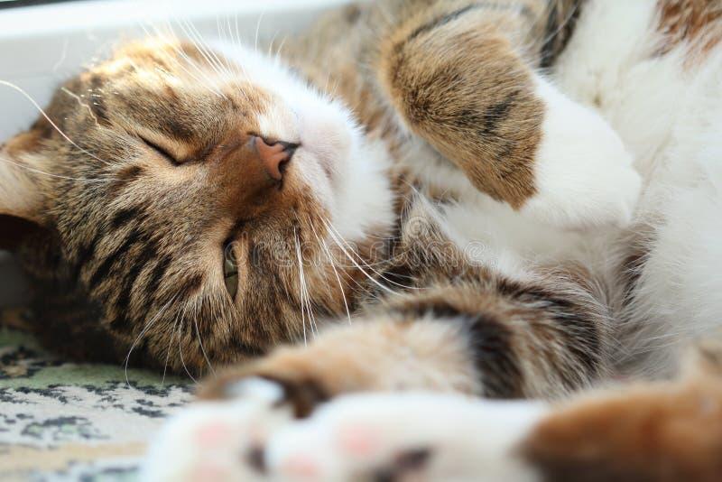 Portret van een slaperige kat van de makreelgestreepte kat op de vensterbank bij ochtend stock afbeelding