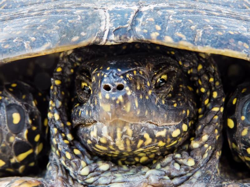 Portret van een slaperige ontevreden moerasschildpad stock foto's
