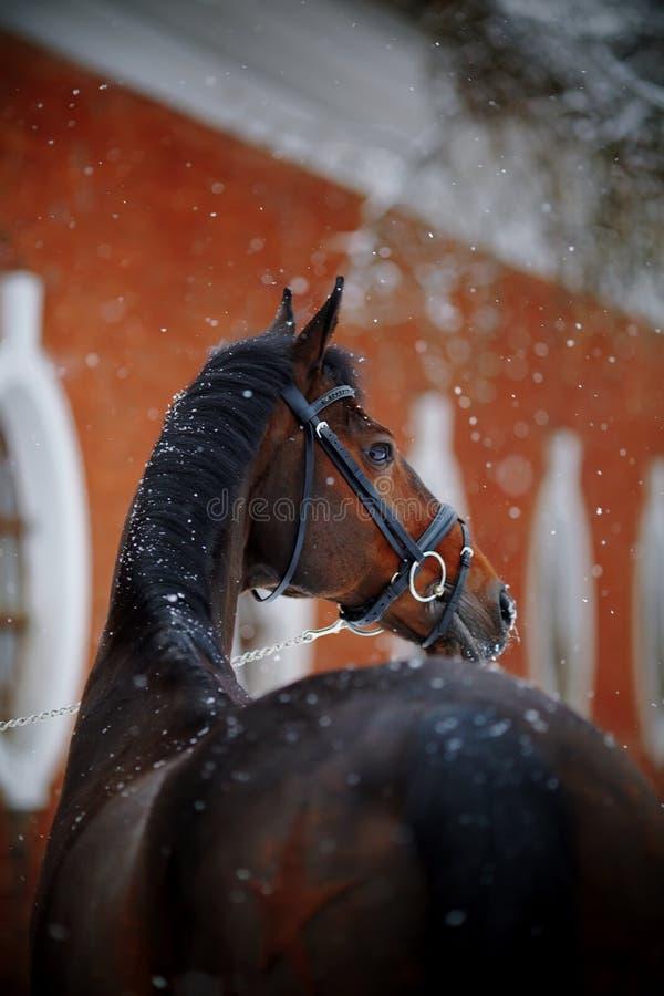 Portret van een sportenpaard in de winter stock foto's