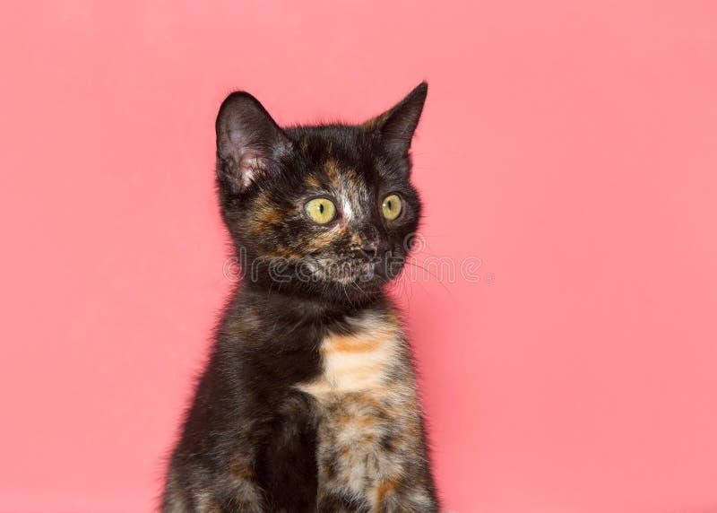 Portret van een uiterst klein tortiekatje die aan kijkers net op roze achtergrond kijken stock foto