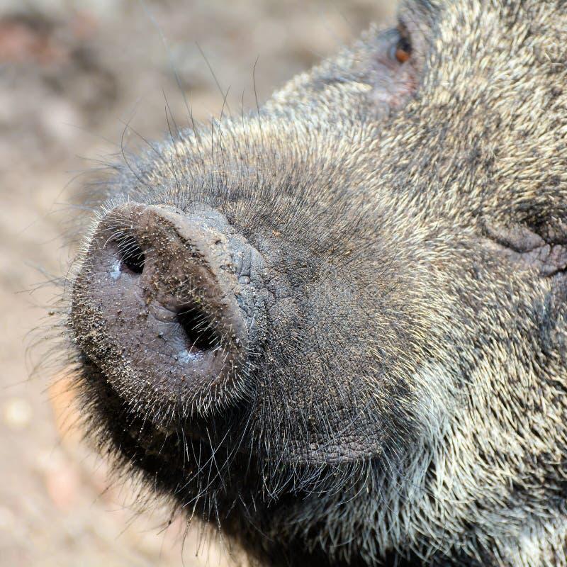 Portret van een varken stock foto