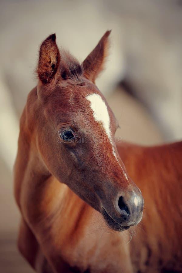 Portret van een veulen van een sportenpaard stock foto's