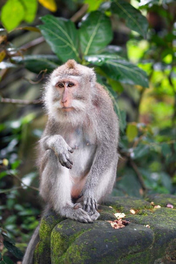 Portret van een volwassen macaque op een steen stock afbeelding
