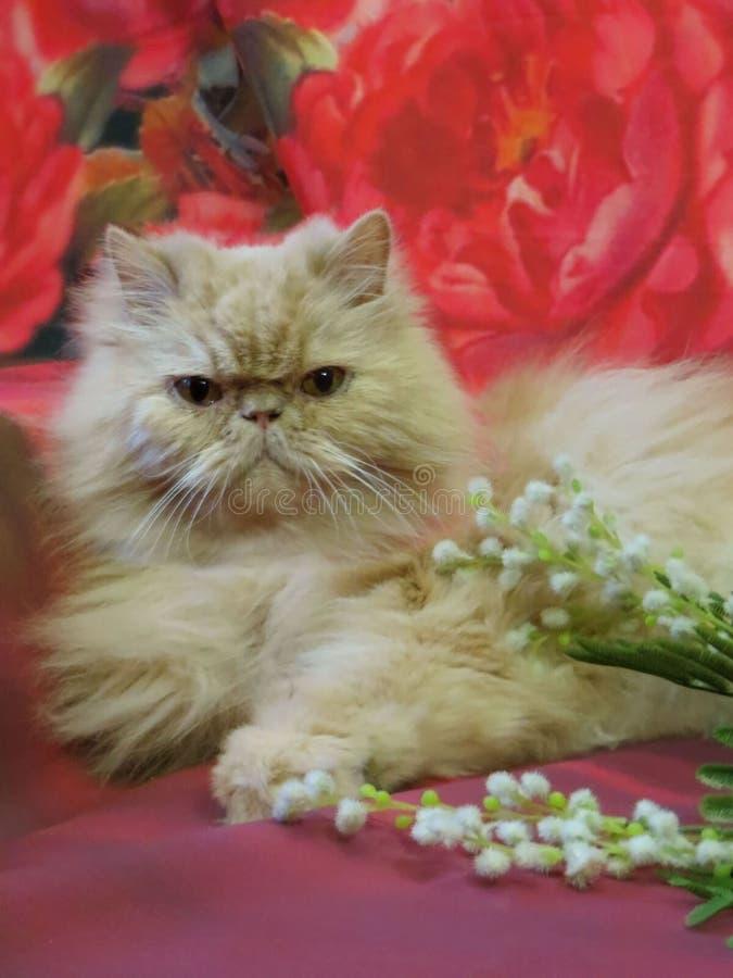 Portret van een volwassen Perzische kat stock foto