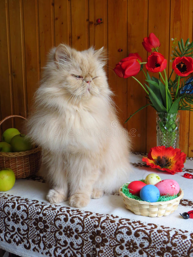 Portret van een volwassen Perzische katzitting op de keukenlijst stock fotografie