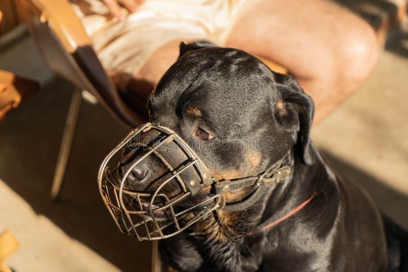 Portret van een volwassen Rottweiler-hond in een metaalsnuit op een zonnige dag stock foto's
