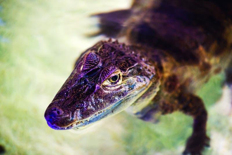 portret van een vreselijke krokodil stock afbeeldingen