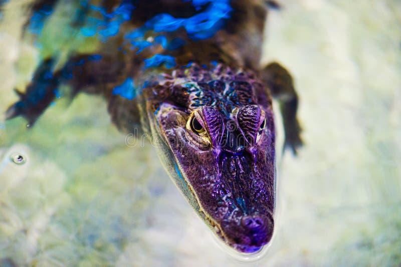 portret van een vreselijke krokodil royalty-vrije stock foto's