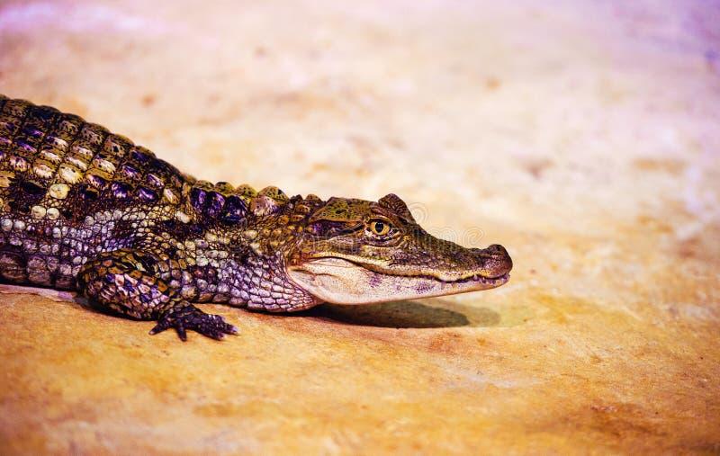 portret van een vreselijke krokodil stock foto's