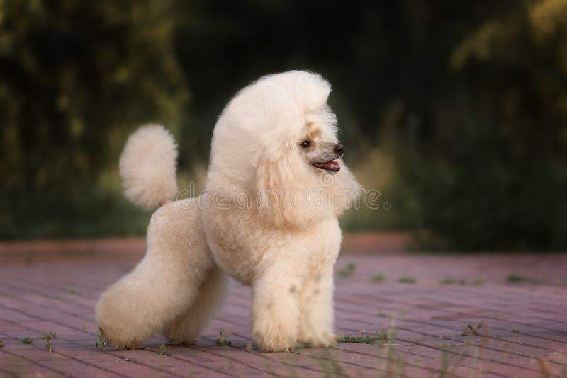Portret van een vrouwelijke hond van de abrikozenpoedel royalty-vrije stock afbeeldingen