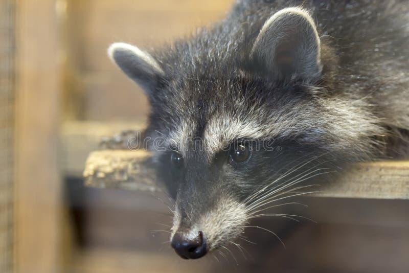 Portret van een wasbeer die op een houten raad, close-up liggen stock foto