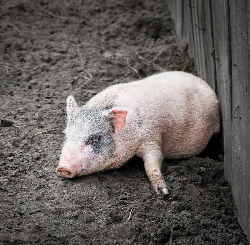 Portret van een weinig grappig biggetje op een landbouwbedrijf royalty-vrije stock afbeeldingen