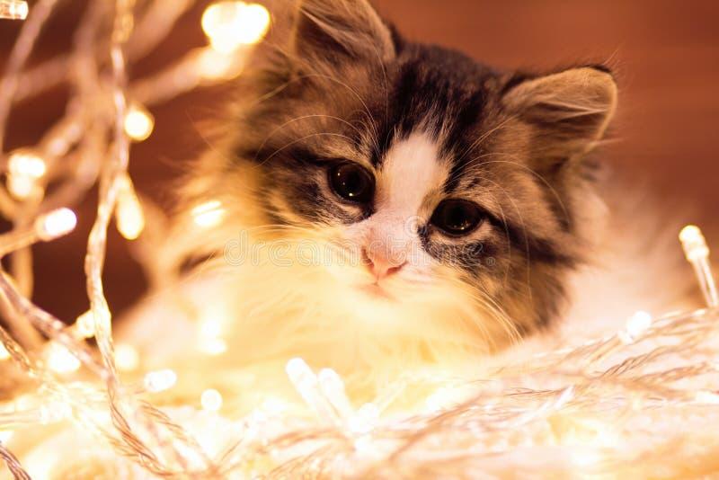 Portret van een weinig pluizig katje in de lichten van een slinger stock fotografie