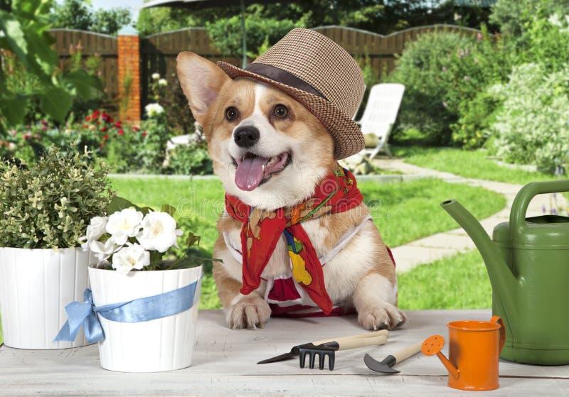 Portret van een Welse hond van corgipembroke in een hoed royalty-vrije stock foto's