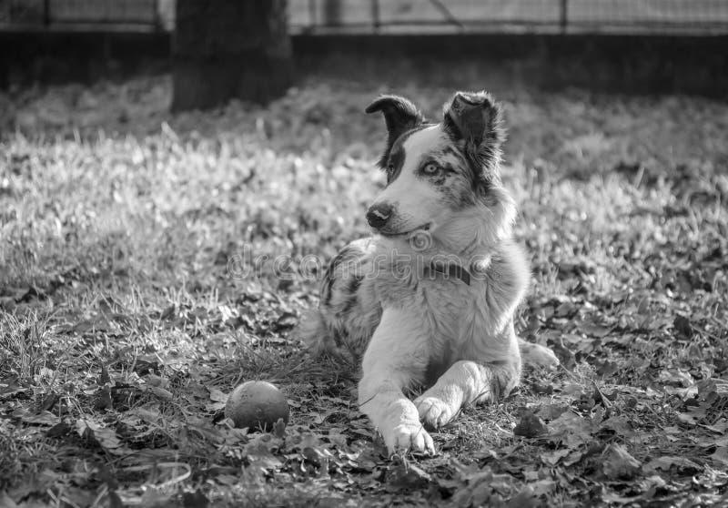 Portret van een werkelijk geconcentreerde en aandachtige hond stock foto