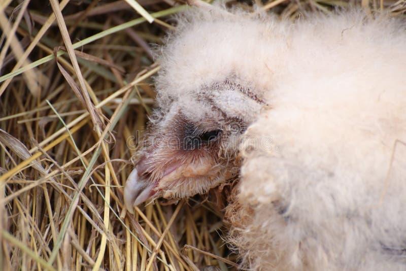 Portret van een westelijke beginneling van de schuuruil (alba Tyto) stock foto's
