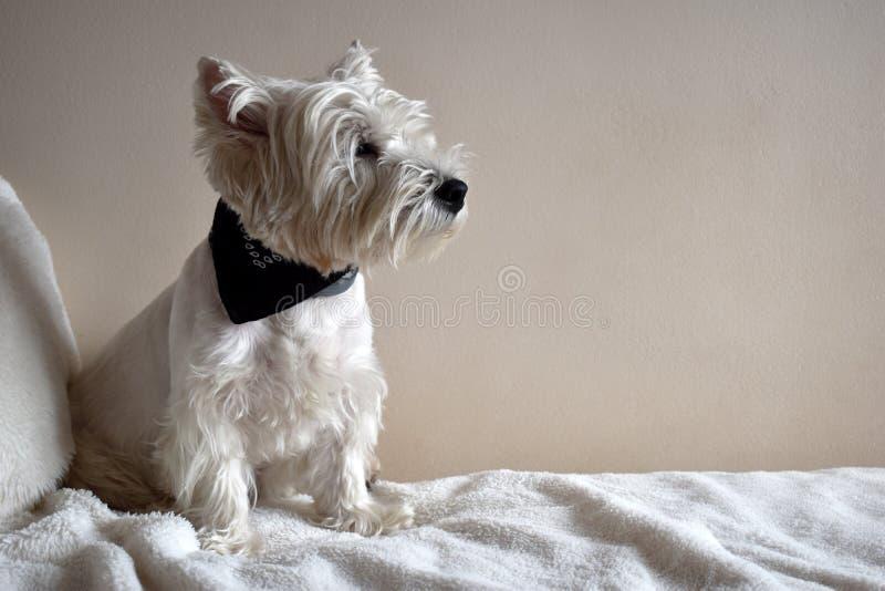 Portret van een Westie, Puppy van Terrier van het het Westenhoogland het Witte royalty-vrije stock foto's