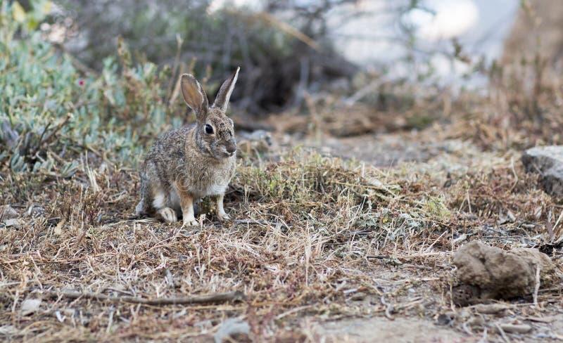 Portret van een wild grijs konijn stock foto's