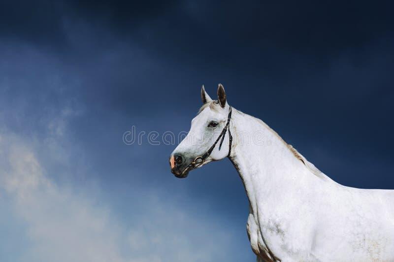 Portret van een wit paard in een teugel stock afbeelding