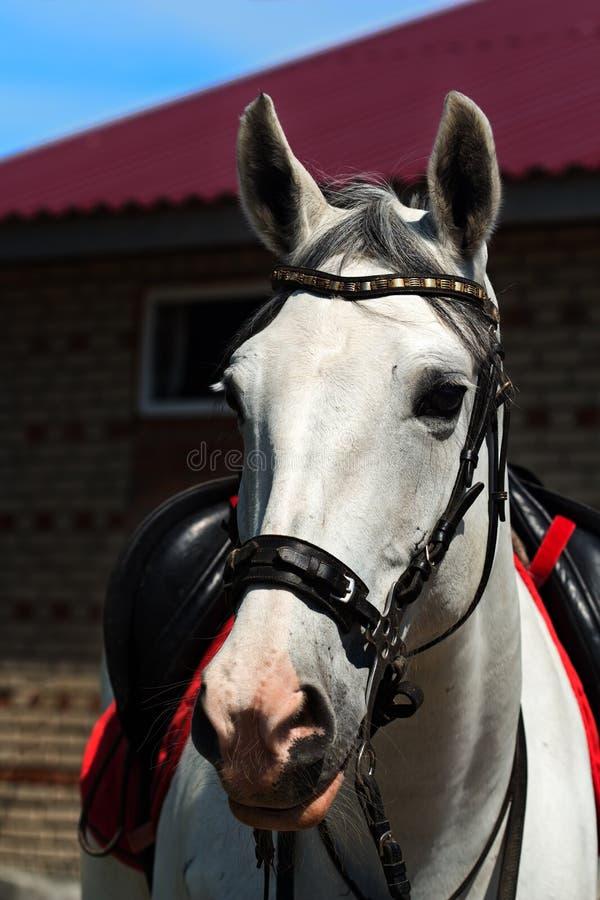 Portret van een wit paard in een teugel en onder een zadel royalty-vrije stock afbeelding
