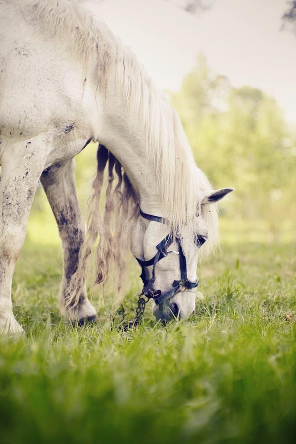 Portret van een wit paard met het lange manen weiden royalty-vrije stock afbeeldingen