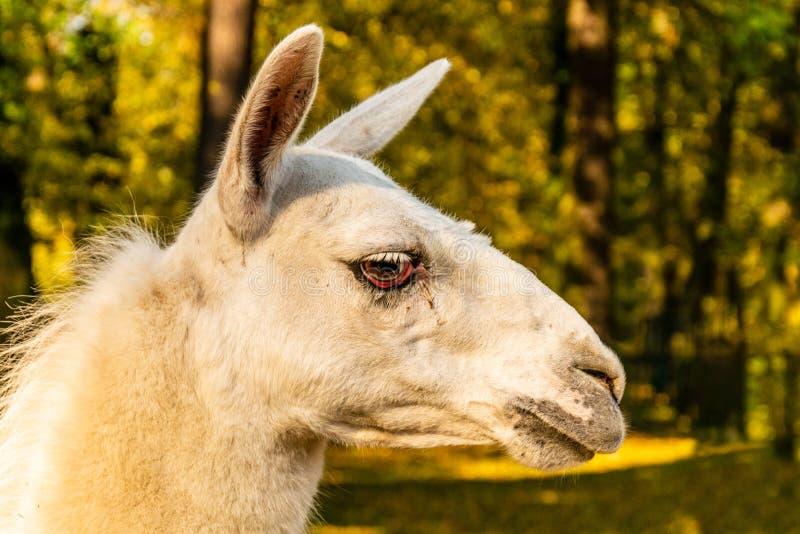 Portret van een witte geacclimatiseerde lama op het landbouwbedrijf stock foto's