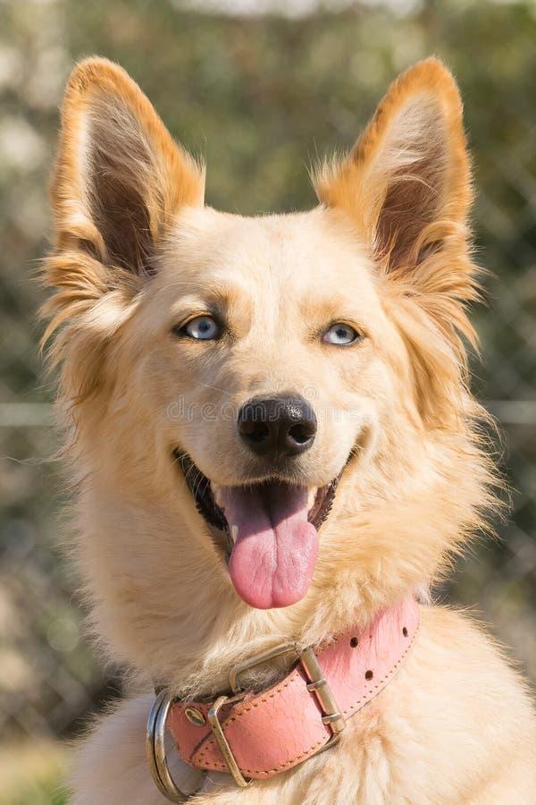 Portret van een witte herdershond royalty-vrije stock afbeelding