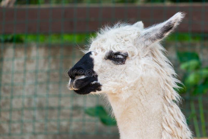 Portret van een witte lama in lama'slandbouwbedrijf royalty-vrije stock afbeeldingen